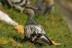 Grey pigeon walking in the grass Stock Images