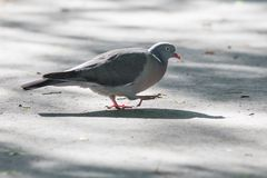 Grey Pigeon Walking on the Pavement Stock Photography