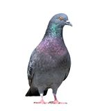 Grey pigeon on white background Royalty Free Stock Image