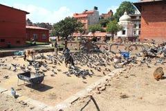 Grey pigeons feeding-1. Royalty Free Stock Photo