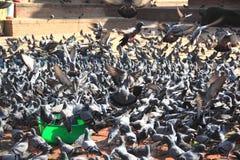 Grey pigeons feeding. Stock Photos