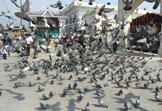 Indian Pigeons-2. Royalty Free Stock Image