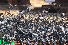 Grey pigeons feeding . Stock Images