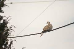 Grey Pigeons que está em fios sobre o céu azul fotografia de stock