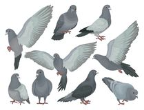 Grey pigeons set, doves in different poses vector Illustrations on a white background. Grey pigeons set, doves in different poses vector Illustrations isolated royalty free illustration