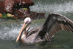 Grey Pink Beaked Pelican. Pink Beaked Grey Pelican Landing in the Water Royalty Free Stock Photos