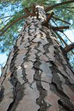 UPWARD VIEW INTO PINE TREE Stock Images