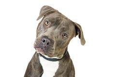 Grey Pit Bull Dog Closeup Tilting Head Stock Images