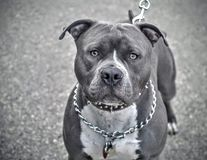Grey pit bull terrier with chain collar. On leash Royalty Free Stock Photography