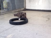 A grey Pitbull in the street. A grey Pitbull playing with a wheel in the street in Caracas, Venezuela Stock Photos