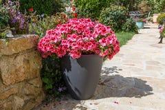 Planter with pink geranium flowers stock image