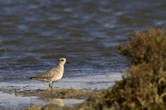 Grey Plover. Is messing aroundon a pond Stock Photo