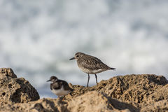Grey Plover Imagem de Stock Royalty Free