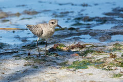 Grey plover Royalty Free Stock Images