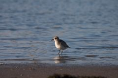 Grey Plover. On the Cavado River in Esposende (Portugal stock photography