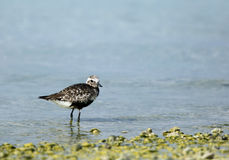 Grey plover in the coast of Bahrain Royalty Free Stock Images