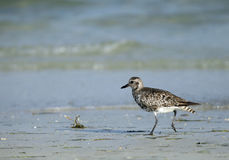 Grey plover in the coast of Bahrain Stock Photos