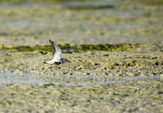 Grey Plover in flight Stock Photos