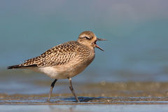 Grey plover. The picture was taken in Hungary Royalty Free Stock Photography