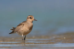Grey plover. The picture was taken in Hungary Stock Photography