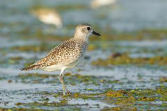 Grey Plover Royalty Free Stock Photography