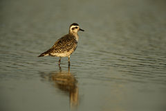 Grey plover, Pluvialis squatarola Royalty Free Stock Photography
