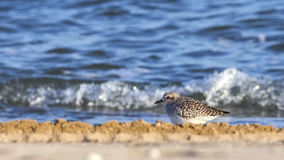 Grey plover Stock Images