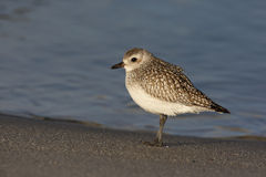 Grey plover, Pluvialis squatarola Stock Photo
