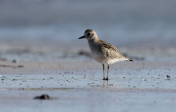 Grey plover, Psittacus erithacus Stock Photo