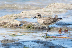 Grey plover Stock Image