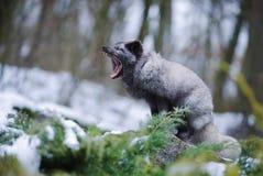 Grey Polar Fox Sitting och gäspa royaltyfri fotografi