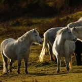 Grey ponies semi wild living on Dartmoor. Dartmoor hill ponies enjoy the freedom to roam the moor, this herd tend to stay together travelling around the vast Royalty Free Stock Photo