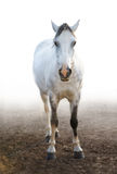 Grey pony. The light grey pony (fullface stock images