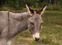 Grey Pony in a Field Stock Images