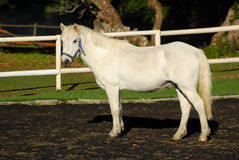 Gray show pony gelding Royalty Free Stock Photos