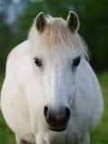 Grey Pony Headshot Stock Afbeelding