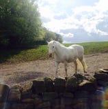 The grey pony Royalty Free Stock Photo