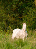 Grey Pony In Paddock Stock Photos
