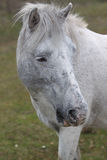 Grey Pony Royalty Free Stock Photo