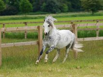 Grey Pony Running. A pretty grey welsh pony canters through a summer paddock Stock Photos