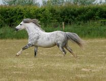 Grey Pony Running. A pretty grey welsh pony canters through a summer paddock Stock Photo