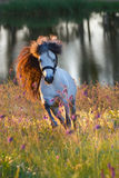Grey pony stallion run at sunset. Grey pony with long mane portrait run at summer sunset in flowers Stock Image