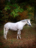 Grey Pony Standing Royalty Free Stock Images