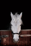 Grey pony standing against black background inside a stable Stock Photo