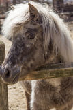 Grey Pony Stock Image