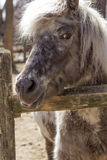 Grey Pony. With thick fur and silver mane looks over his fence in this farm portrait Royalty Free Stock Images