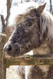 Grey Pony Stock Photography