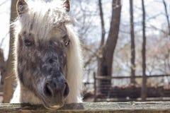 Grey Pony Stock Photos