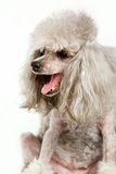 Grey poodle Stock Images