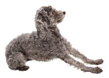 Grey poodle Royalty Free Stock Images